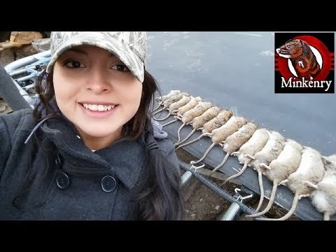A Mink and Dogs Killing Over 20 Rats!!!