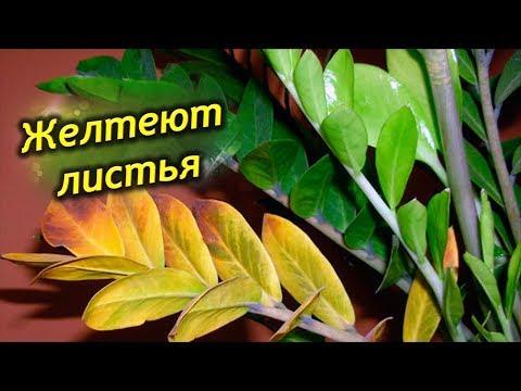 Почему желтеют листья у долларового дерева? Что делать, как спасти Замиокулькас? (видео)