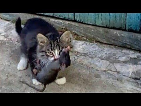 Деревенские кошачьи забавы