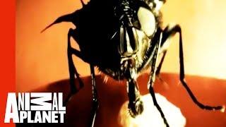 Botfly Invasion | Monsters Inside Me
