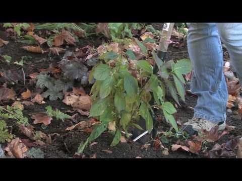 Plant Care & Gardening : How to Transplant Hydrangeas