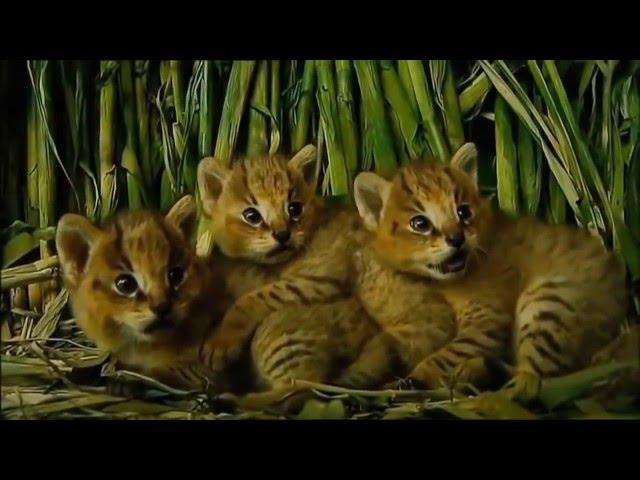 Meskipun Kucing Hutan Lucu Aja Tingkahnya Mp3fordfiesta Com