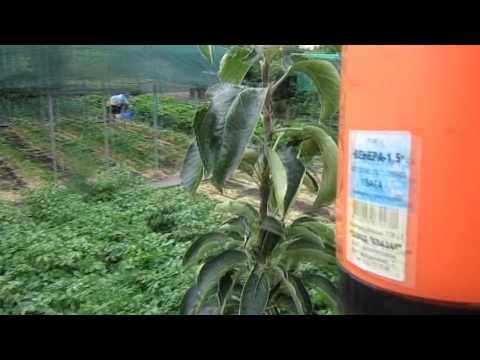 Борьба с тлёй и чёрной мошкой на деревьях и томатах