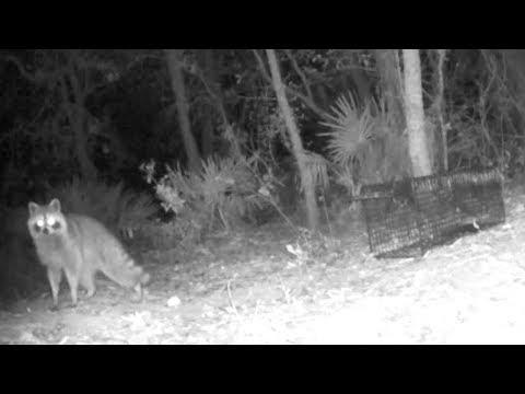 CATCHING A PET EATING RACCOON!