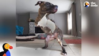 Pit Bull Dog Born Without Front Legs Makes His New Family So Happy - COLE | The Dodo by The Dodo