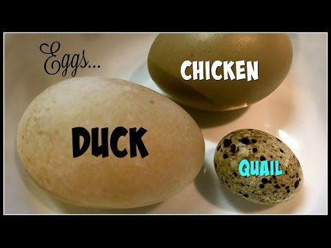 Yummy Eggs! Duck Vs Chicken Vs Quail