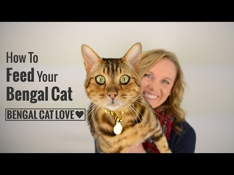 How to Feed Your Bengal Cat (Covering Raw Diet, Prey Model Raw & Commercial Cat Food)