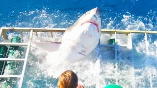 Great White Shark Cage Breach Accident