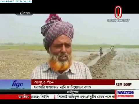 Potatoes being damaged in rain in Munshiganj, Chandpur (14-03-17)