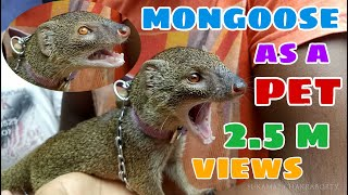 MONGOOSE AS A VILLAGE PET