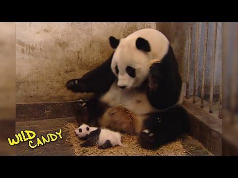 Sneezing Baby Panda | Original Video (видео)