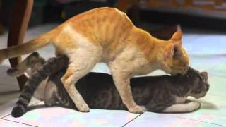 Download Video cats making love MP3 3GP MP4
