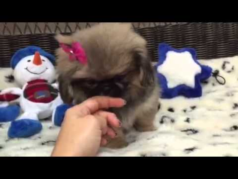 Adorable, Squishy face pekingese baby girl
