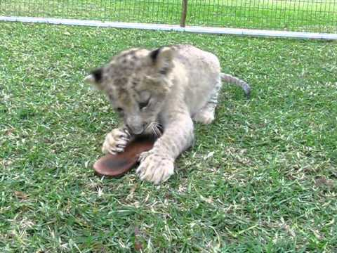 Little Baby Lion Cub Playing