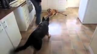 Pies zobaczył w kuchni pluszowego tygrysa naturalnej wielkości! Reakcja na pluszaka rozbawiła mnie do łez!
