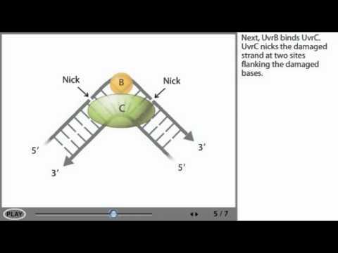 DNA repair mechanism animation - Nucleotide excision repair (NER)