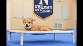 Doozer graduated from the dog training boot camp at Neuman K-9 Academy. This program included obedience commands to sit, stay, heel or walk on a loose leash, come when called, proper etiquette, no jumping up, meeting and greeting people under control, and running on a treadmill.Our dog training camp provides programs for all breeds such as boot camp, obedience training, and puppy camp.Neuman K-9 Academy is a professional canine training school that provides board and train (inboard) for dogs, and fully trained dogs for sale.For more information visit: www.mndogtraining.comLocated in Hugo Minnesota just north of Minneapolis and St. Paul (MN).