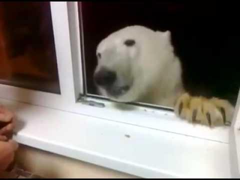 Jääkarhu tuli vierailulle