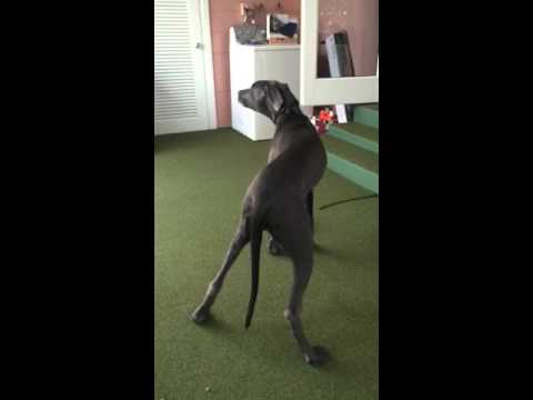 Baby Blues Great Dane - Singing Concerto