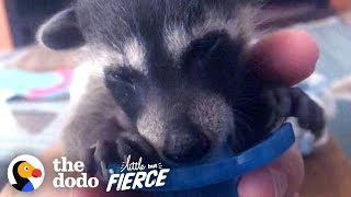 Rescued Baby Raccoon Loves To Snuggle On The Sofa | The Dodo Little But Fierce by The Dodo