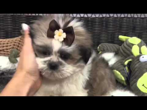 Sweet as sugar, precious Shih Tzu puppy
