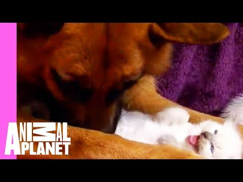 kitten - The family German Shepherd takes kindly to the newest members of the house. Tune in Saturdays @ 9pm on Animal Planet | For more visit http://animal.discovery...