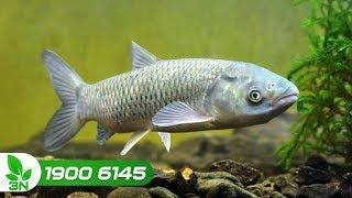Thủy sản | Phòng trị bệnh xuất huyết do virus trên cá trắm cỏ