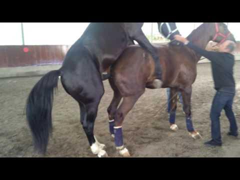 Video Caballo Entero Sirve a Yegua. (caballo capao no es yegua) download in MP3, 3GP, MP4, WEBM, AVI, FLV January 2017
