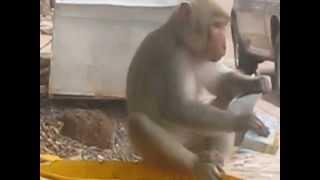 Kumphawapi Thailand  city photos : Monkey finds milk box in Kumphawapi, Thailand