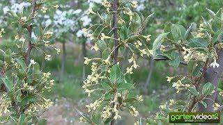 Die Blüte von Elaeagnus multiflora