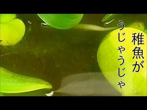 青幹之スーパー光メダカの稚魚 生後0〜2週間