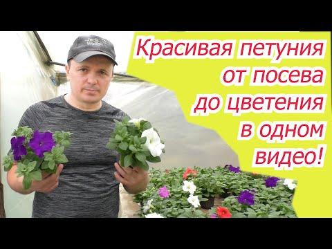 Выращивание петунии от посева до цветения в одном видео