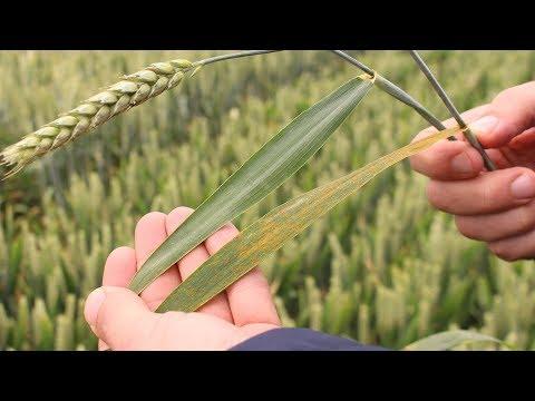 Variétés de blé : résistance aux maladies foliaires