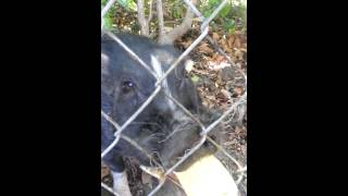 Video Friendly pig eating corn MP3, 3GP, MP4, WEBM, AVI, FLV Agustus 2018