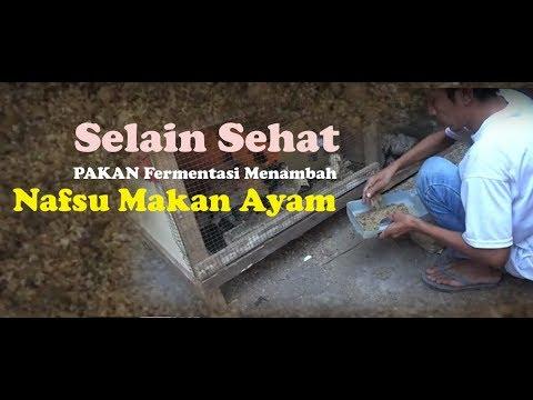Video Selain Sehat  Pakan Hasil Fermentasi Menambah Nafsu Makan Ayam download in MP3, 3GP, MP4, WEBM, AVI, FLV January 2017