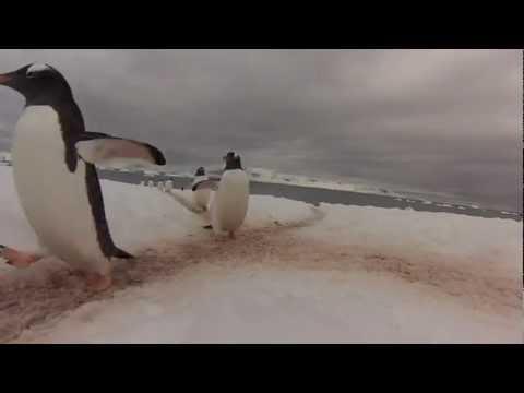 企鵝過馬路,不遵守交通規則竟然馬上犁田!