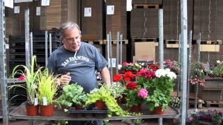 #376 Mix it bei Beet-und Balkonpflanzen (Geranien, Gerbera, Efeu, Dichondra)