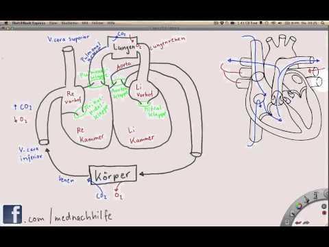 Überblick über das Herz-Kreislauf-System | mednachhilfe...