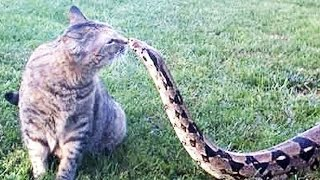Video FEARLESS CATS 😹 23 Badass Cats Who Will Amaze You [Funny Pets] MP3, 3GP, MP4, WEBM, AVI, FLV Mei 2017