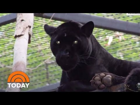 Jaguar Attacks Woman Who Jumped Zoo Barrier For Selfie | TODAY