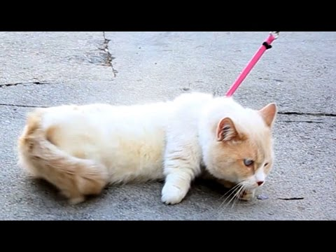 WATCH: People trying to walk their cats