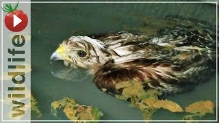 Video Hawk Rescued From Drowning, His Reaction Was... MP3, 3GP, MP4, WEBM, AVI, FLV Oktober 2018