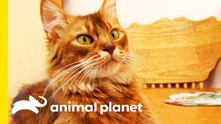This Beautiful Somali Cat Gets A Pampering Session | Cats 101 by Animal Planet