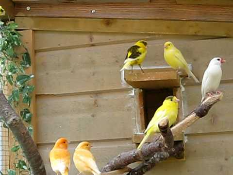 Canary Cage9