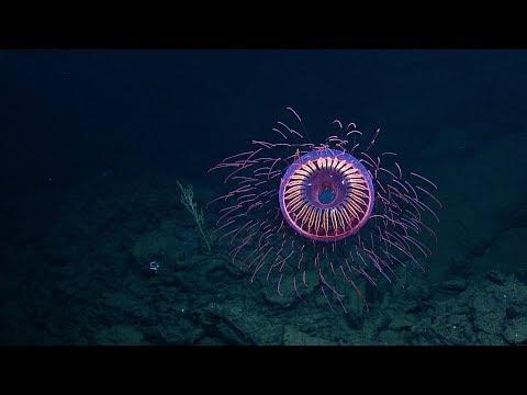 Sukeltajat kuvaavat uskomattoman meduusan – Kuin ilotulite!