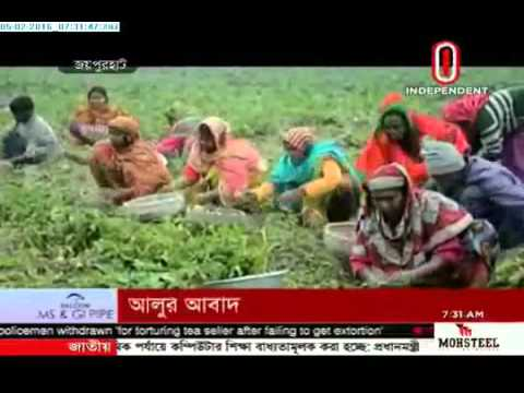 Potato cultivation (05-02-2016)