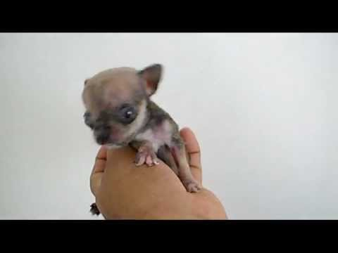 The World's Smallest Dog 2012 – Micro Tiny Teacup Chihuahua