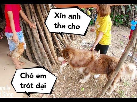 Chó Mật đi ăn trộm gà bị chủ nhà bắt được, Mẹ phải đến chuộc về - Mật Pet Family - Thời lượng: 10 phút.