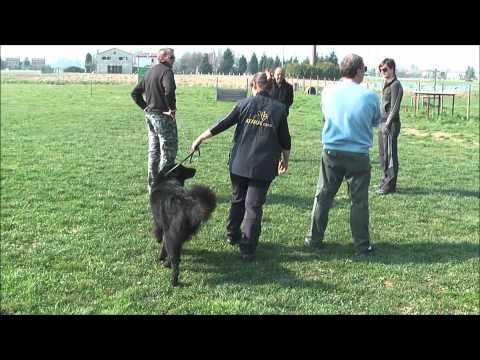 Accoppiamento pastore belga groenendael, disponibile per monte