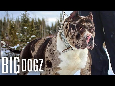 Meet Aftermath: The 130lb Superstar Merle Bully | BIG DOGZ